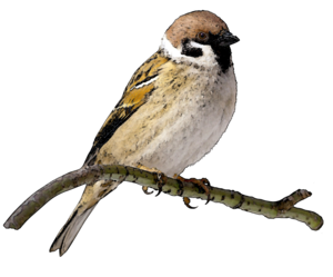 Sparrow PNG File PNG icon