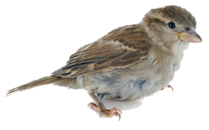 Sparrow PNG HD PNG Clip art