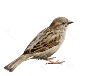 Sparrow PNG Picture PNG Clip art