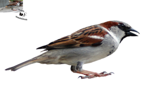 Sparrow PNG Transparent Image PNG Clip art