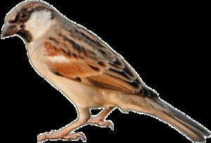 Sparrow PNG Transparent PNG Clip art