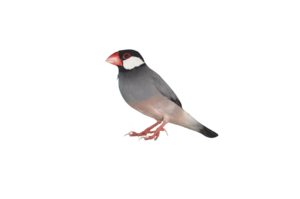 Sparrow Transparent Background PNG icon