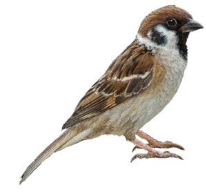 Sparrow Transparent Images PNG PNG icons