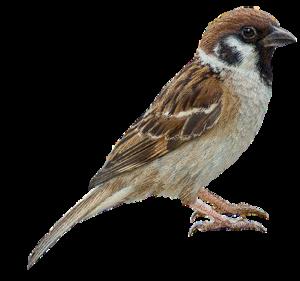 Sparrow Transparent Images PNG PNG Clip art