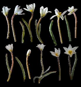 Spring Flower PNG HD PNG Clip art
