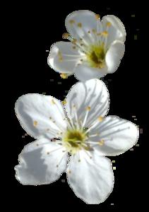 Spring Flower PNG Transparent Image PNG Clip art