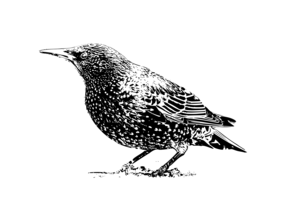Starling Background PNG PNG Clip art