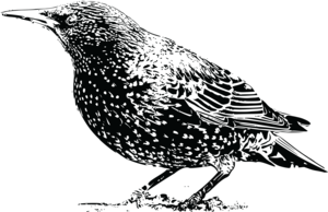 Starling PNG File PNG Clip art