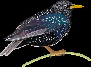 Starling PNG HD PNG Clip art