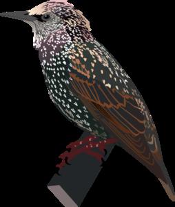 Starling PNG Image PNG Clip art