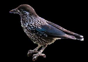 Starling PNG Transparent Image PNG Clip art