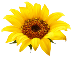 Sunflower PNG Clipart PNG Clip art