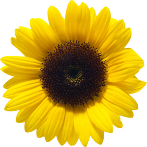 Sunflower PNG File PNG Clip art