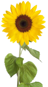 Sunflower PNG Free Download PNG clipart