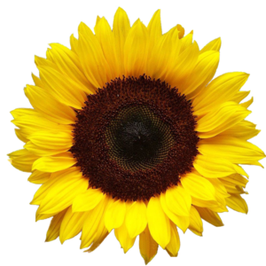 Sunflower PNG HD PNG image