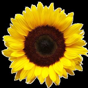 Sunflower PNG HD PNG Clip art