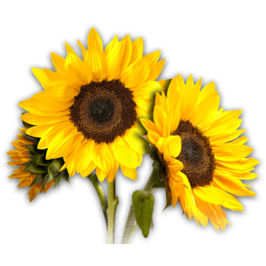Sunflower PNG Photos PNG image
