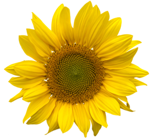Sunflower PNG Pic PNG Clip art