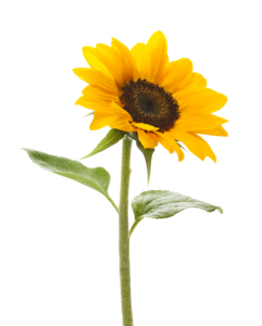Sunflower Transparent Background PNG Clip art