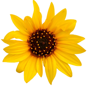 Sunflower Transparent PNG PNG Clip art