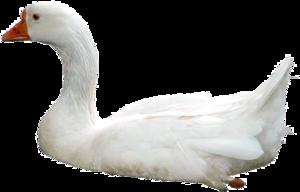 Swan PNG Photos PNG Clip art