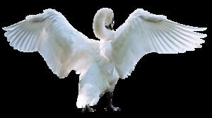 Swan PNG Pic PNG Clip art
