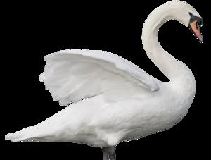 Swan PNG Transparent Image PNG Clip art