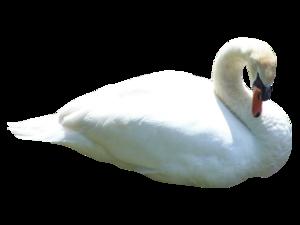 Swan Transparent PNG PNG Clip art