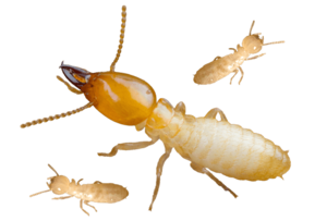 Termite PNG Background Image PNG Clip art