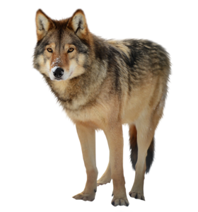 Timber Wolf PNG PNG Clip art