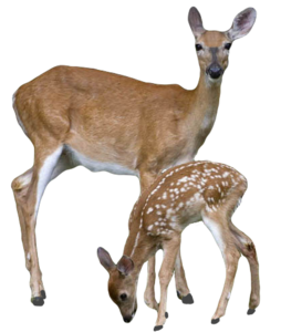 Transparent Deer With Baby Deer PNG PNG Clip art