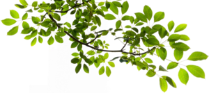 Tree Branch Transparent PNG PNG Clip art