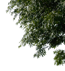 Tree Leaves PNG Image PNG clipart