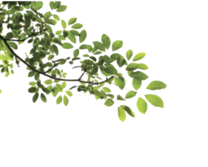 Tree Leaves PNG Clip art