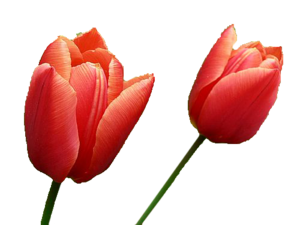 Tulip PNG Image PNG Clip art