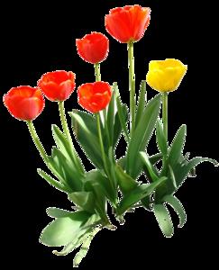 Tulip PNG Transparent Image PNG Clip art