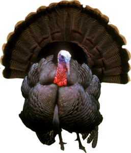 Turkey PNG Photos PNG Clip art