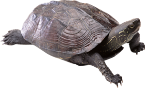 Turtle PNG Free Download PNG Clip art