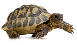 Turtle PNG HD PNG Clip art