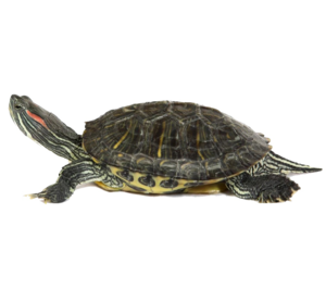Turtle PNG Image PNG Clip art