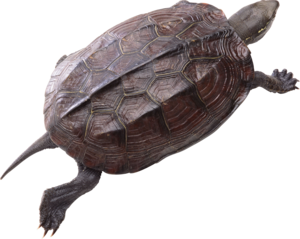 Turtle PNG Pic PNG Clip art