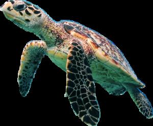 Turtle PNG Transparent Picture PNG Clip art