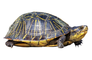 Turtle PNG Transparent PNG Clip art