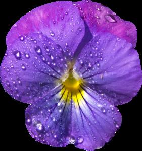 Violet PNG Image PNG Clip art