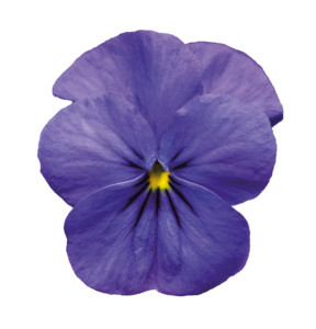 Violet PNG Pic PNG Clip art