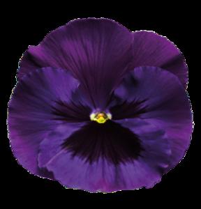 Violet Transparent Background PNG Clip art