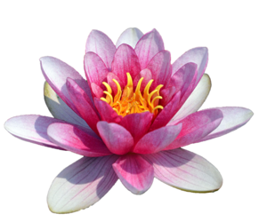 Water Lily PNG HD PNG Clip art