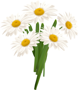 White Camomile PNG PNG Clip art