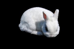 White Rabbit PNG Clipart PNG Clip art