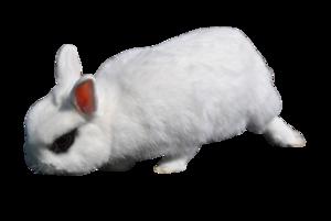 White Rabbit PNG Transparent Image PNG Clip art